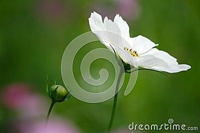Wild cosmos flowers
