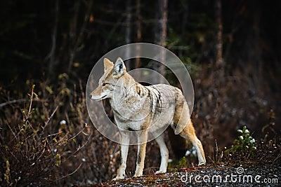 Wild Coyote