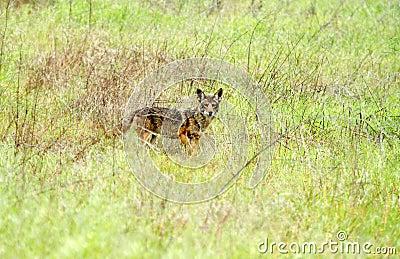 Wild coyote in grassland
