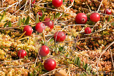 Wild Cramberries Growing In Moss Royalty Free Stock Photo - Image: 6445835