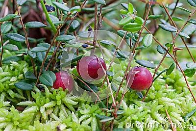Wild cranberries growing in bog