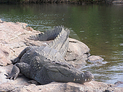 Wild croc