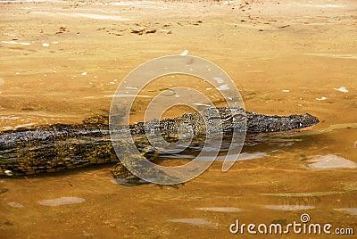 Wild crocodile in yellow Zambezi river