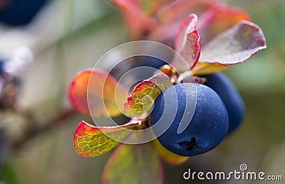Wild crowberry