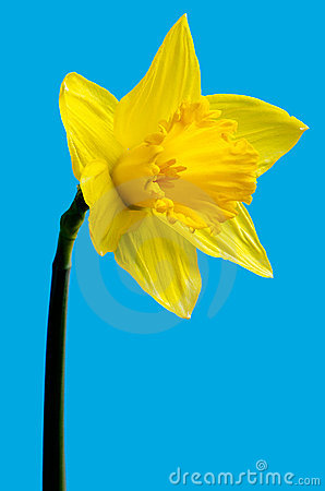 Free Wild Daffodil Royalty Free Stock Photo - 19222105