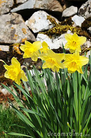 Free Wild Daffodils (Narcissus Pseudonarcissus) Royalty Free Stock Photography - 13968197