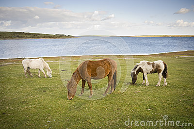Wild Dartmoor Pony