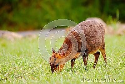 Wild deer animal