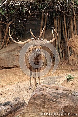 Wild deer with long horns