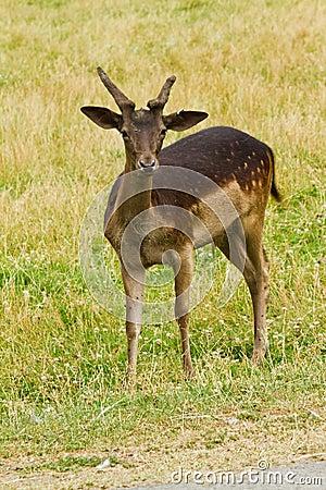 Wild deer in nature