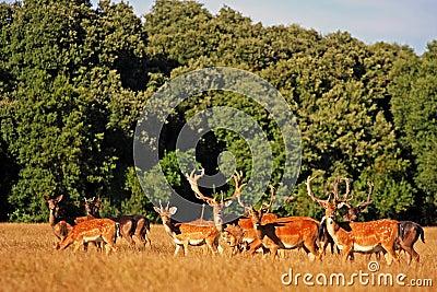 Wild deers