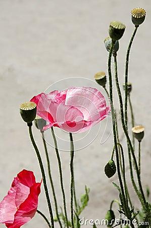 Free Wild Desert Poppy Royalty Free Stock Images - 1583779