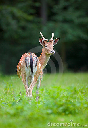 Wild doe in field