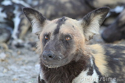 Wild Dog in Botswana