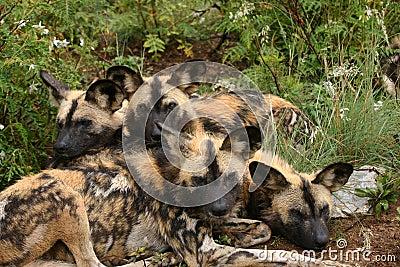Wild dog family