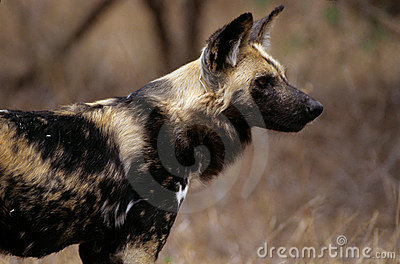 Wild dog (lycaon pictus)