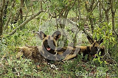 Wild Dog lycaon pictus