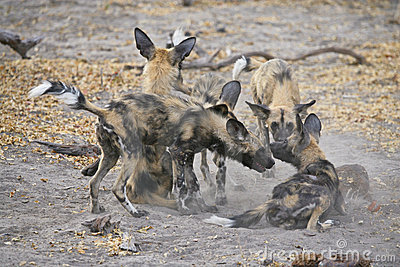 Wild Dog (Lycaon pictus) play-fighting