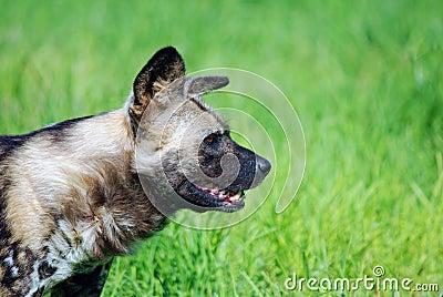 Wild dog on prowl