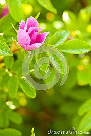 Wild dog rose bud macro