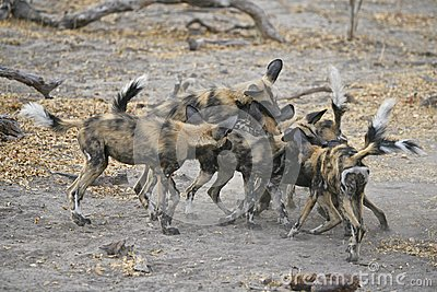 Wild Dogs play-fighting