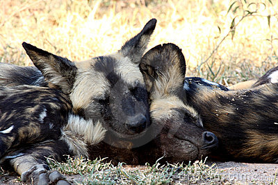Wild dogs in South Africa