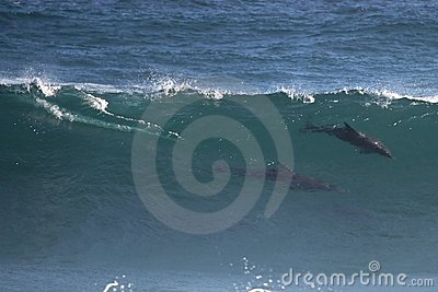 Wild Dolphins in Wave