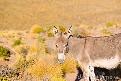Wild donkey at the Altiplano