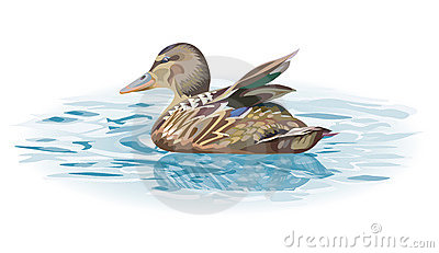 wild duck bird on water