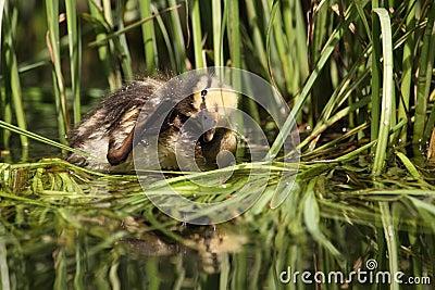 Wild duck cub