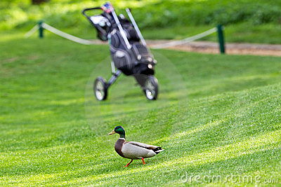 Wild duck on golf-course