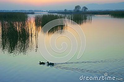Wild duck Lake