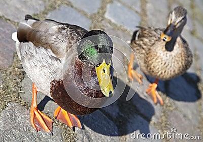Wild ducks in Amsterdam