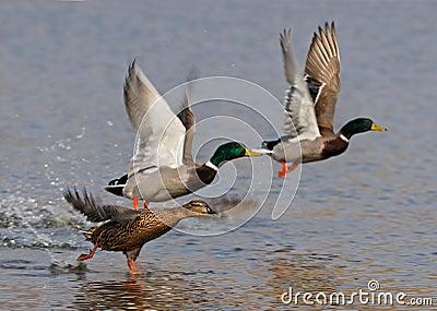Wild ducks flying