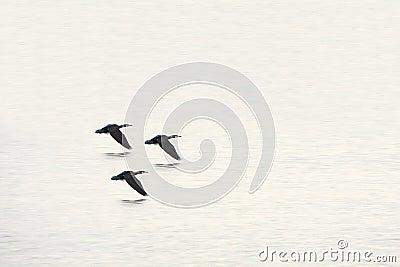 Wild ducks flying on river