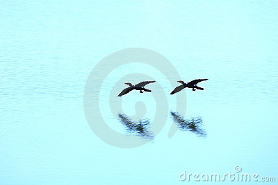 Wild ducks flying on river