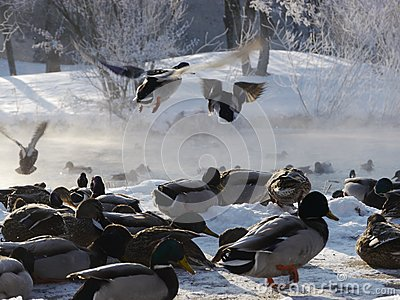 Wild ducks flying in the winter