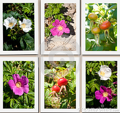 Wild dune rose collage