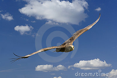 Wild eagle in flight