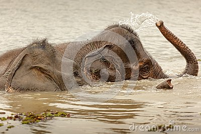 Wild elephant bathing