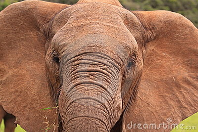 Wild elephant close-up