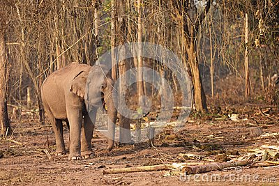 Wild elephant in Laos