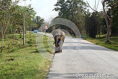 Wild elephant on the road