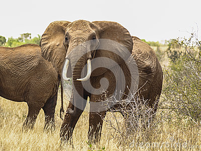 Wild elephant staring at the camera in Kenya
