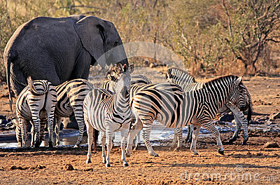 African elephant and zebra around waterhole
