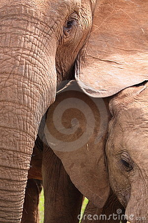 Wild elephants close-up