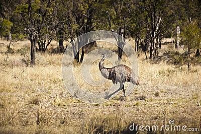 Wild Emu