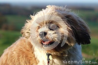Wild Eyed Shitzu Dog