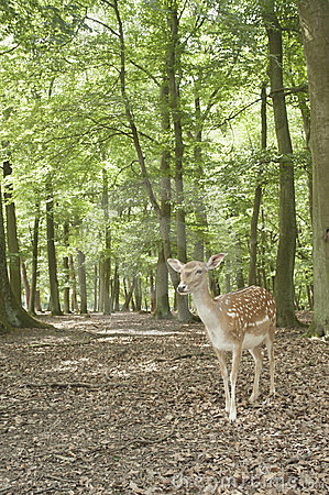 Free Wild Fallow Deer In Black Forest, Germany Stock Images - 24075934