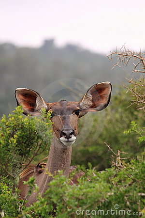 Wild female kudu